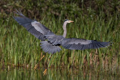 Great Blue Heron landing wing span