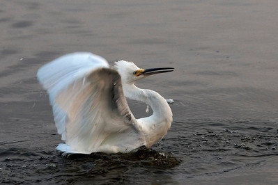 Snowy Egret about to strike one of its own kind