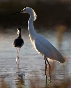 Snowy Egret & Black-necked Stilt at sundown