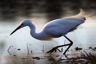 Snowy Egret, sunset