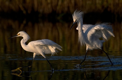 Snowy Egrets at sunrise
