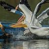 Brandt Cormorant & Pelican Frenzy