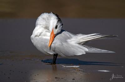 Elegant Tern
