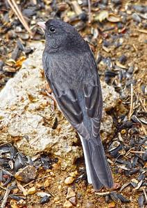 Slate-colored Junco  or  Dark-eyed Junco (male)