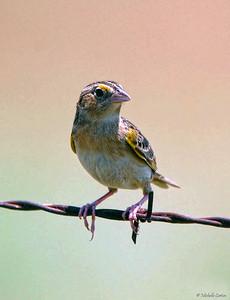 Grasshopper Sparrow (male)