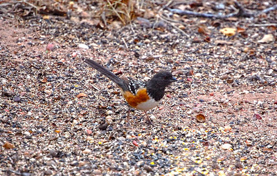 Spotted Towhee (male)