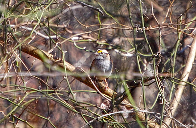 White-throated Sparrow (white-striped form)