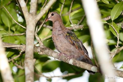 Emerald Dove - Juvenile