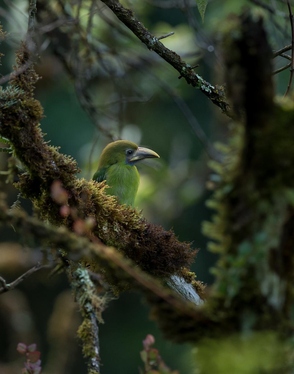 Emerald Toucanet juvenile, May 4, 2016, Savegre, Costa Rica