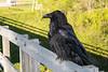 Adult raven on railing of railway bridge.