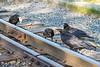 Juvenile ravens along the tracks.