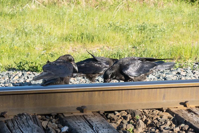 Juvenile ravens on tracks.