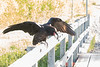 Juvenile raven on railing, wings up.
