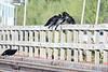 Ravens on railway bridge