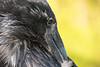 Adult raven cleaning feathers.