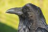 Headshot of adult raven.