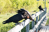 Adult raven with an egg with two juveniles on railing of railway bridge.