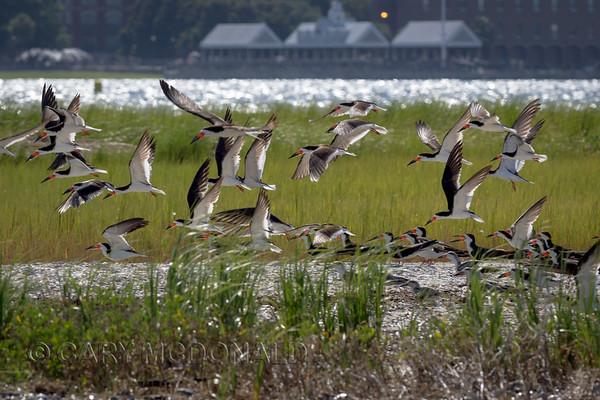 Juvenile Black Skimmers watching the adults take flight