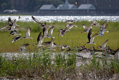 Juvenile Black Skimmers watching the adults take flight