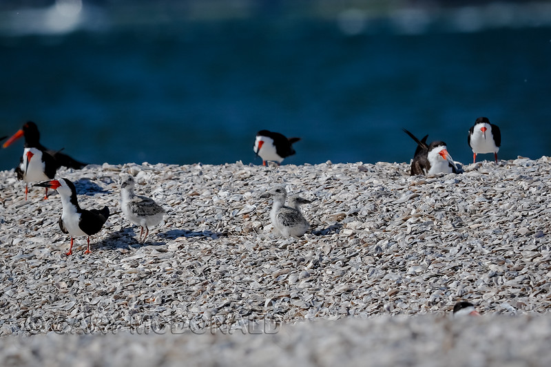 Few Black Skimmer chicks waiting on some parents