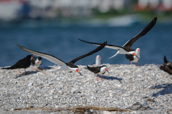 Young Black Skimmer below the start of a joust.