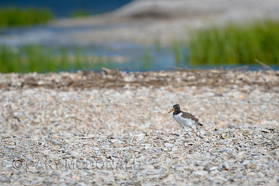 Oyster catcher chick waiting on some food Charleston Harbor With Eric Horan