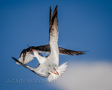 Black Skimmer joust - Charleston Harbor With Eric Horan
