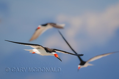 Black Skimmers in Charleston Harbor with Eric Horan
