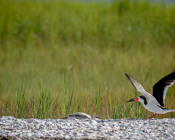 Black Skimmer motivating a chick to get back under cover
