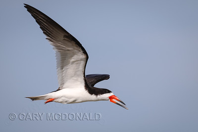 Close flyby of the Black Skimmer
