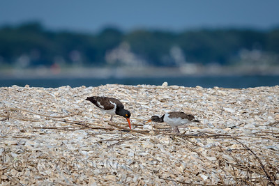 Oyster catcher chick getting some food