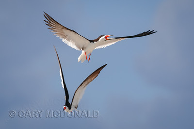The chase is on for the black skimmers