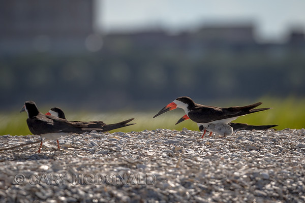 Black Skimmer chick looking for shade in the Charleston Harbor With Eric Horan