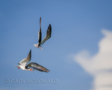 Black Skimmer joust positioning - Charleston Harbor With Eric Horan