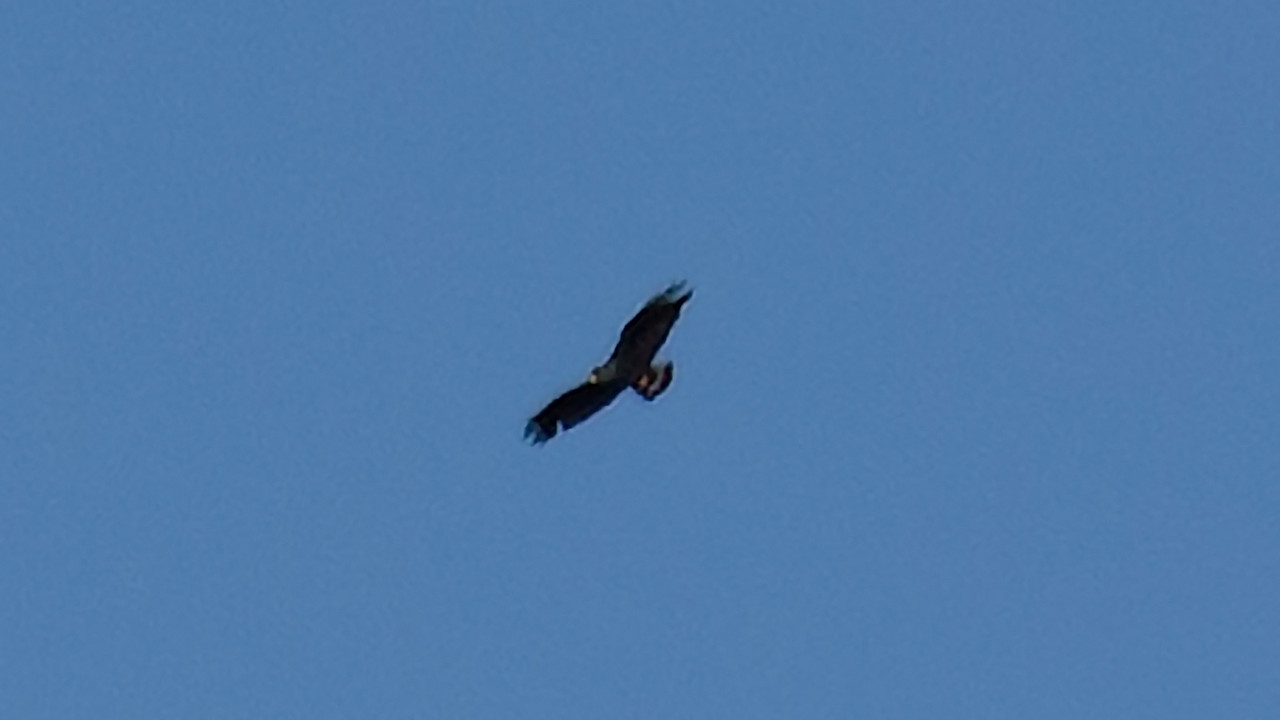 Zone-tailed hawk @ 1 Mile