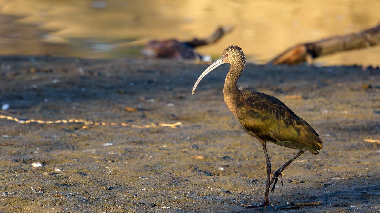 White-faced ibis