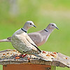 Gavin and Dolly, our Eurasian Collared-Doves, are trying to enjoy a quiet romantic dinner.  Where is all the noise coming from?