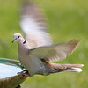 Wyatt, our Eurasian Collared-Dove, is getting ready for take-off!