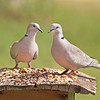 Meet Gavin and Dolly, our well-mannered (most of the time) Eurasian Collared-Doves.