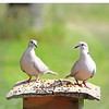 Gavin and Dolly, our Eurasian Collared-Doves, enjoying the unsalted peanut buffet!