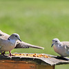 Gavin, Dolly & Wyatt, our Eurasian Collared-Doves, came to the buffet as a family!