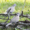 Eurasian Collared-Doves