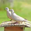 Meet Gavin & Dolly, our Eurasian Collared-Doves!  The came to the Avian Buffet to enjoy a romantic dinner!