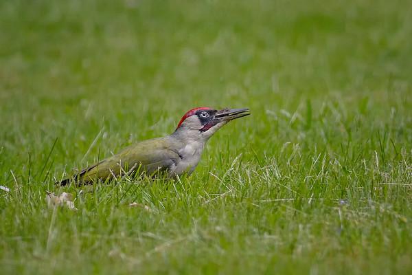 Eurasian Green Woodpecker (Picus viridis)