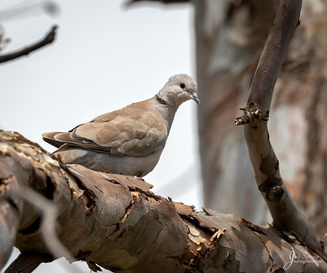 Eurasion collared Dove