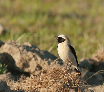 Blonde Tapuit - Black-eared Wheatear