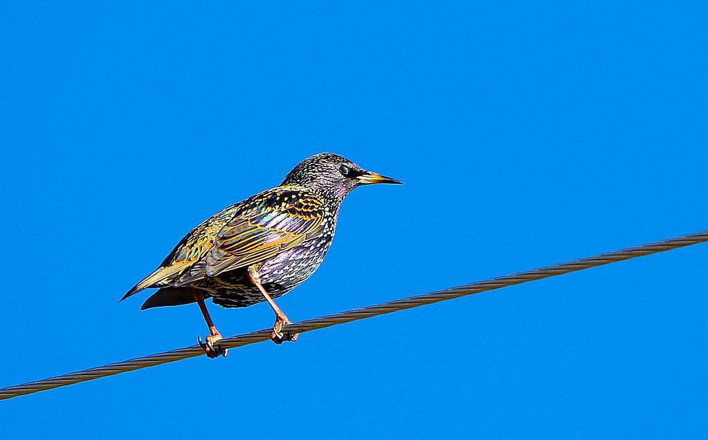 Adult European Starlings