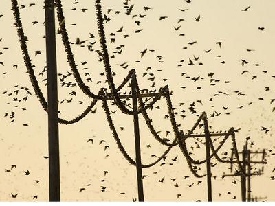 Starlings - Sacramento Valley, California
