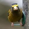 Evening Grosbeak<br /> 11 JAN 2011