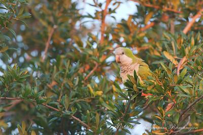 Monk Parakeet Cape Coral, FL